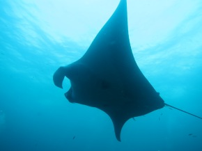 Photography Friday: the Manta Ray