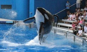 "File photo of Tillikum, a killer whale at SeaWorld amusement park, performing during the show ""Believe"" in Orlando"