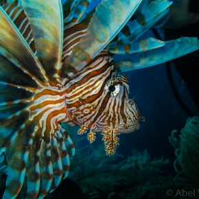 Photography Friday: Lionfish