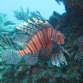 The Great Debate: Predators vs Lionfish