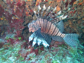 "Who's ""Lyin'"" about Lionfish?"