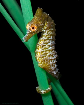 Sneaky seahorses stalk prey using stealthy snout