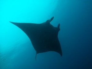 A 6 ft wide Manta Ray decided to make an appearance during our very last dive!
