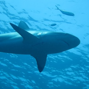 Photography Friday: Caribbean Reef Shark