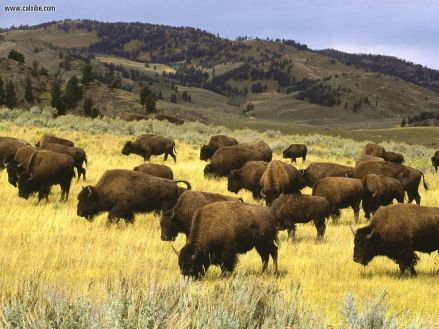 Bison_Yellowstone_National_Park_Wyoming