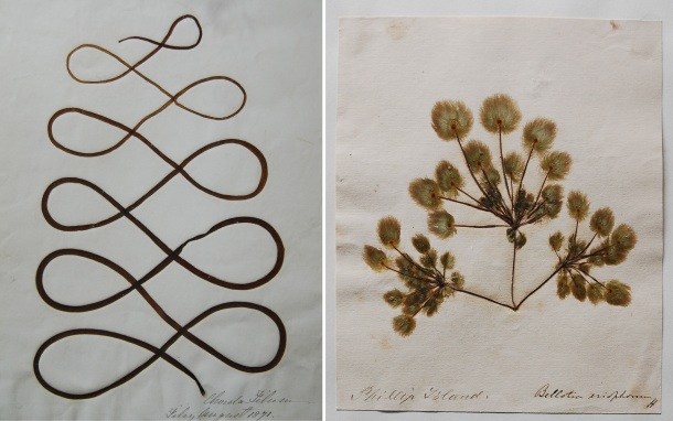 Two seaweed specimens preserved by Gatty: Chorda filum (left) and Bellotia eriophorum (right). Gatty's personal herbarium is now part of the University of St. Andrews Herbarium in Scotland. Images from http://naturalsciencecollections.wordpress.com/2013/08/27/margaret-gattys-algal-herbarium-in-st-andrews/.