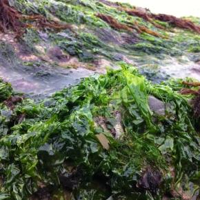 Seaweed Hunting inPetticoats