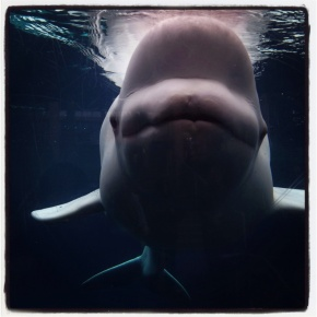 Photography Friday: Beluga Whale