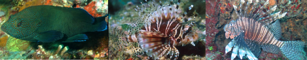 freckled hind: http://www.fishwisepro.com; zebra lionfish: http://australianmuseum.net.au; lionfish: Serena Hackerott