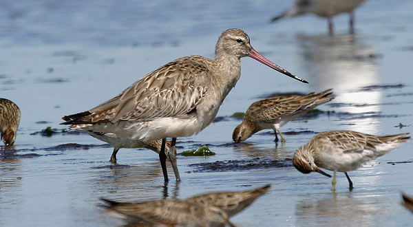 The bar-tailed godwit.  Image from the Melbourne Museum (Australia).
