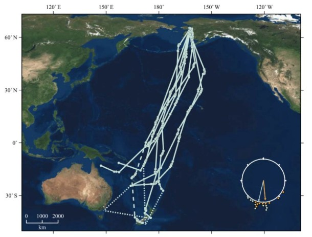 The flight paths of the nine godwits tracked by Gill et al.  The birds flew from Alaska to the South Pacific between late August and early October.