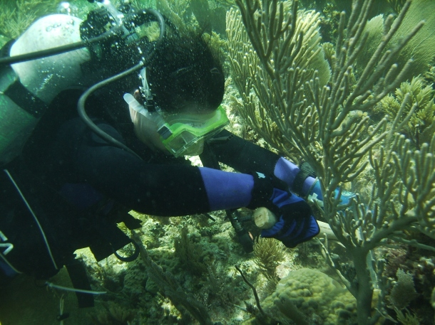 A colleague (S. Levas) collecting some specimens in Puerto Morelos, Mexico (photo: V. Schoepf)