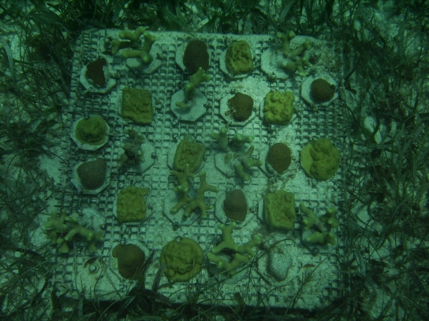 Study corals collected in Mexico. Currently located in a -80 Celsius freezer somewhere (photo: Verena Schoepf)