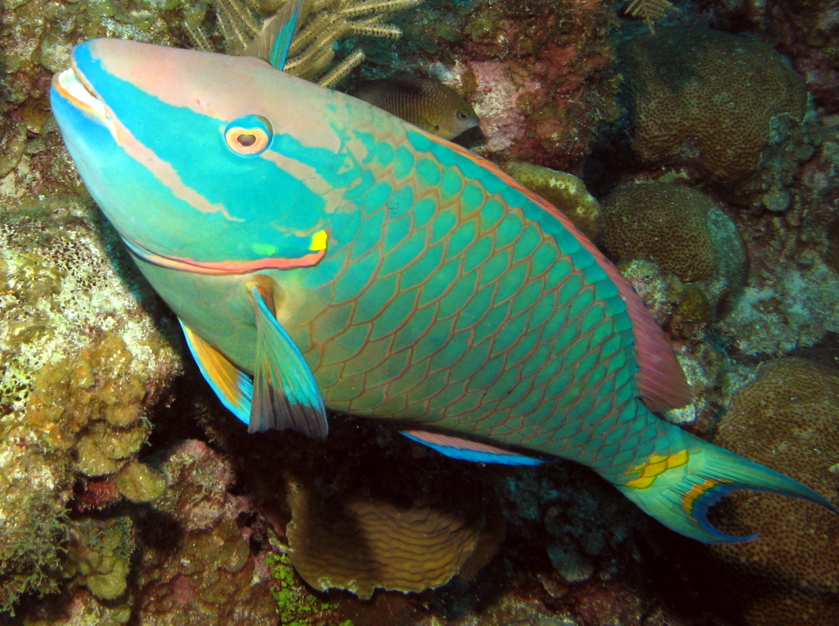 Film friday parrotfish can bring reefs from despair to for Pictures of parrot fish