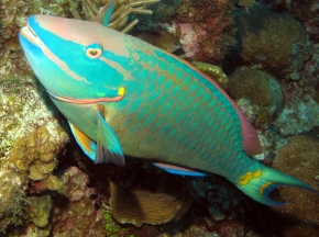 "Film Friday: Parrotfish can bring reefs from ""despair to repair"" in the fight against algal domination"