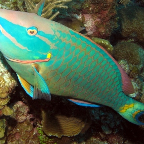 """Film Friday: Parrotfish can bring reefs from """"despair to repair"""" in the fight against algaldomination"""