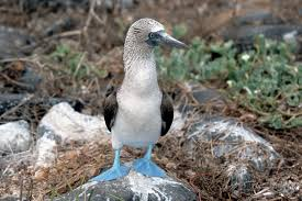 Yes, they are a bird and they have blue feet. (commons.wikimedia.org)
