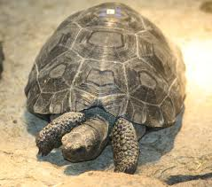 A Galapagos Tortoise (commons.wikimedia.org)