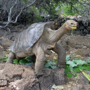 Lonesome George No More