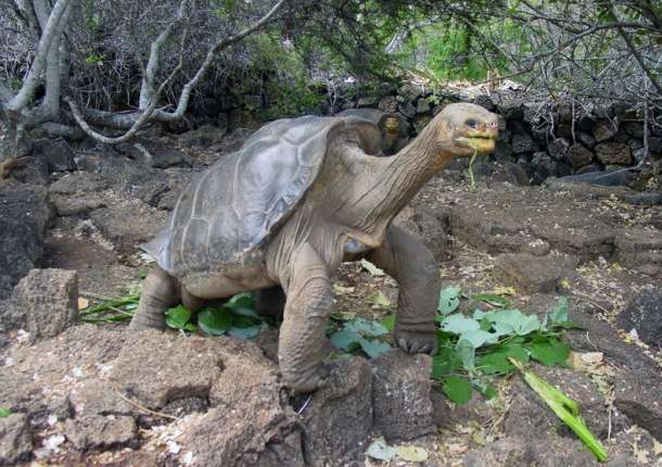 Lonesome George in better times on Santa Cruz Island.  Image from http://www.scientificamerican.com/slideshow/lonesome-george-the-last-of-his-kind-strikes-his-final-pose-slideshow/