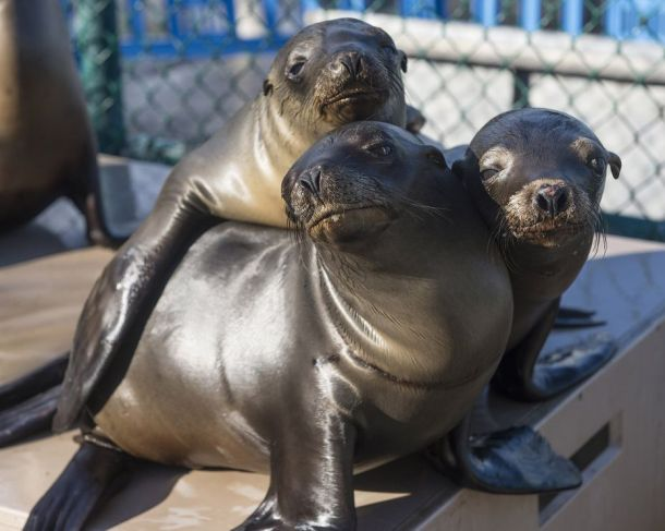 Sea lion pups being cared for at a rehabiliation facility. Credit: NatGeo.