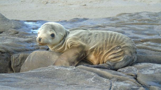 An unhealthily thin sea lion pup. Credit: NOAA.