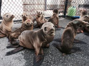 Why Might Warmer Water = Sea LionStarvation?