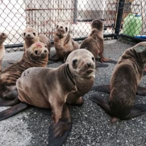 Why Might Warmer Water = Sea Lion Starvation?