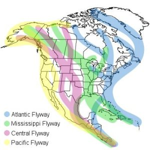 This map shows the general routes of birds migrating over North America.  The Atlantic Flyway is shown in blue. Image from http://birding.about.com/od/birdingbasics/ss/North-America-Migration-Flyways.htm
