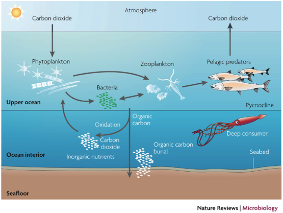 There are a few extra steps here, but you can follow phytoplankton taking up CO2 and being eaten by organisms that eventually release CO2.  Some phytoplankton sink and are buried (