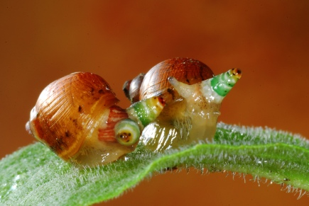Figure 6: . Leucochloridium paradoxum trematode parasites inside of these snails' eyes. Photo courtesy of https://c2.staticflickr.com/6/5056/5484226446_1ce86d3efc_b.jpg.