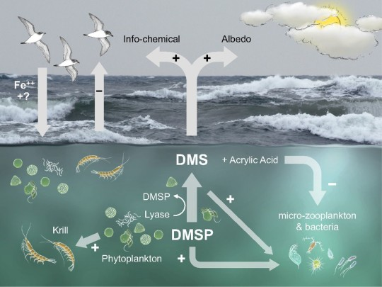 The interaction mutualistic relationship between seabirds and phytoplankton, as mediated by marine krill. Image from http://www.pnas.org/content/111/11/4157/F4.large.jpg.
