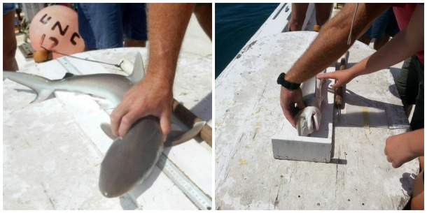 Left: A Shark's Tale (and Nose and Flippers and Fin and…) Right: First, the shark gets measured and it is noted whether it is a male or female. Photos by Larisa Bennett.