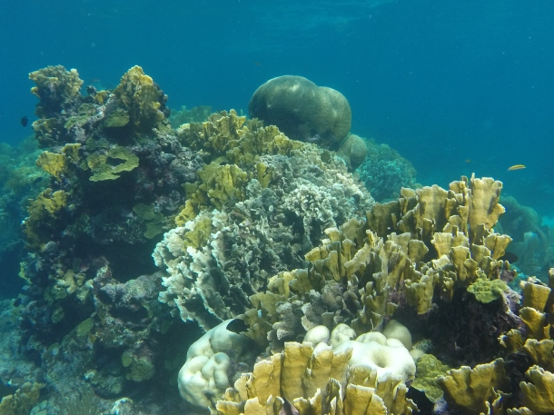 Coral bleaching in Belize. The white and pale corals are exhibiting signs of bleaching caused by increased water temperatures