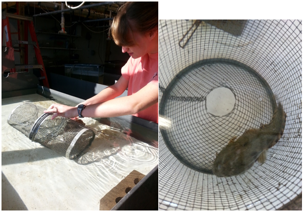 Kayla Pehl putting her predator (in this case a toadfish) into the fish trap as she sets up her experiment. The six fish she studies will be in the tank surrounding the trap while a camera records their behavior. PC: Larisa Bennett