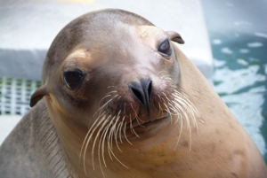 Sea Lion Recovering from Domoic Acid Poisoning Credit: The Marine Mammal Center