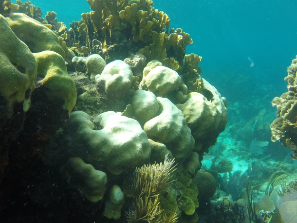 Corals that are not adapted/acclimatized to cope with heat bleach when temperatures raise.  (photo: Justin Baumann)