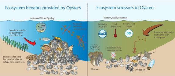 oyster fig3.jpg