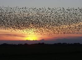 Birds Migrating: en.wikepedia.com