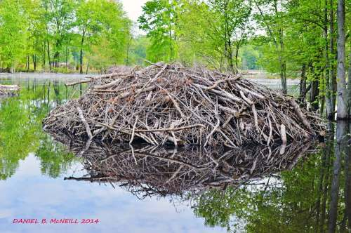 Proof that people love the beavers! This photo was taken by Daniel B. McNeill, who'd I guess was a park visitor. Image from https://www.yelp.com/biz_photos/huntley-meadows-park-alexandria?select=pYNto3y9UoO8T9NeFkB8hA