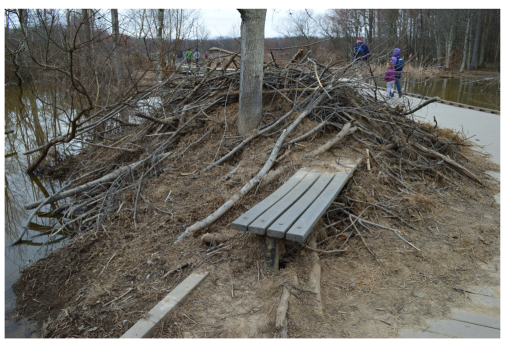 One surefire way to ensure that guests can see the beavers: let the dam take over the boardwalk. Photo from McCrea 2016.