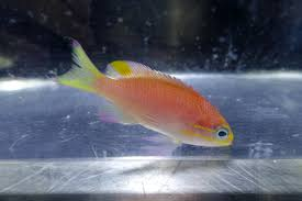 obamafish
