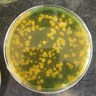 Vibrio5